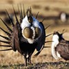 Saving Sage-Grouse