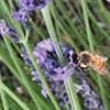 Be a Bee Friendly Family This Summer!