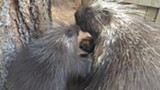 Mother and Daughter Porcupines - Uploaded by TheHighDesertMuseum
