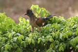 Immature levaillant's cuckoo - Uploaded by CedarWaxwing
