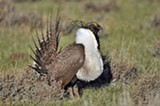 Male Sage-Grouse - Uploaded by gvalido