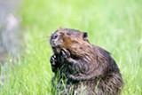 beaver-1448390_1920_1_.jpg