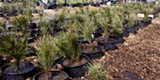 Annual ponderosa pine seedling sale in Sunriver - Uploaded by Amanda A