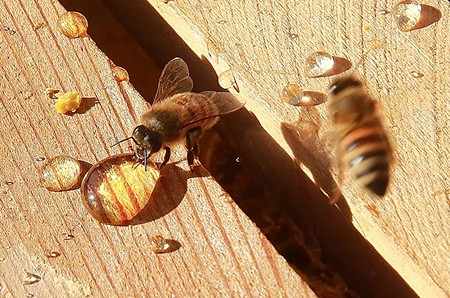 A TASTE OF HONEY Humans and bees alike enjoy the sweet spoils of the hive - WILL BUCQUOY