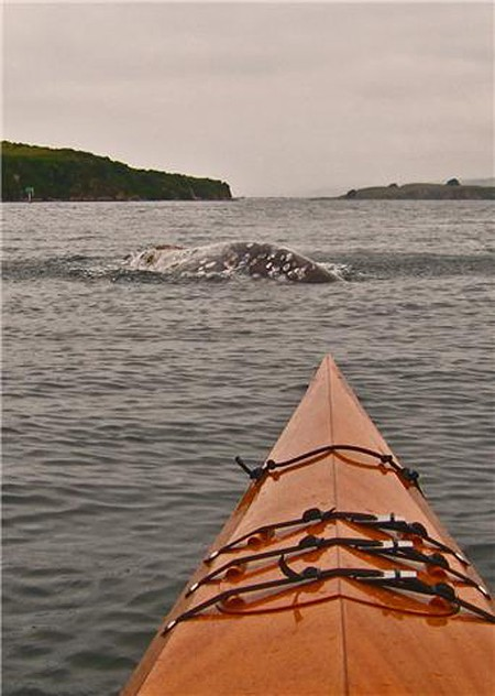 AHOY! A gray whale breaches in Tomales Bay. - JEFF BROOKS
