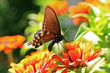 e466ed29_butterfly_pipevine_swallowtail_400x600mk_img_0392.jpg