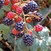 Building a Better Berry