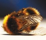 PHOTOGRAPH BY DAVE HAMILTON - BZZZZZZZZZZZZ: Colony collapse disorder continued to be an issue in 2010 with leaked correspondence spurring the EPA to action.