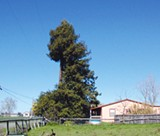 CHUNKED: Mervis Reissig's redwood tree in Southwest Santa Rosa.