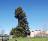 CHUNKED: Mervis Reissig's redwood tree in Southwest Santa Rosa.