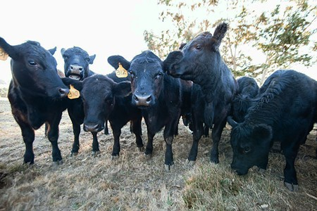 COW TOWN Calves graze at Bill Niman and Nicolette Hahn Niman's Bolinas ranch. - MICHAEL WOOLSEY