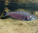 DFW Skeptical of Record Coho Salmon Migration