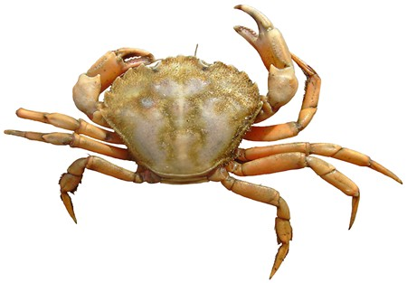 GOT CRABS? If certain culinary fads come west, we'll soon be feeding on invasive species like the Carcinus maenas, above.
