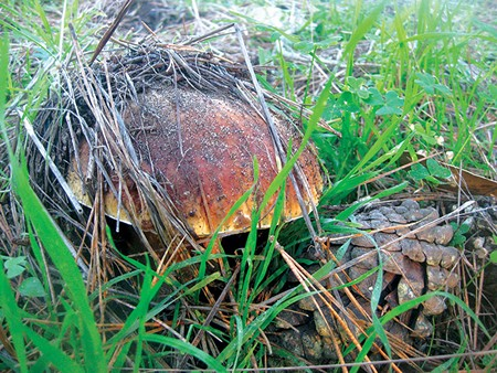 HIDING OUT Finding mushrooms like this in hunting expeditions is getting harder, thanks to tech-driven mushroom tours. - ALASTAIR BLAND