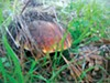 <b>HIDING OUT</b> Finding mushrooms like this in hunting expeditions is getting harder, thanks to tech-driven mushroom tours.