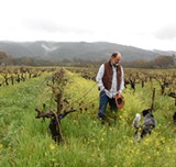 JUST RAIN: Glen Ellen dry-farmer Will Bucklin, pictured among vines that have lasted since 1851 with no irrigation at all. - ALMA SHAW