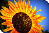 f825b52b_sunflower.png