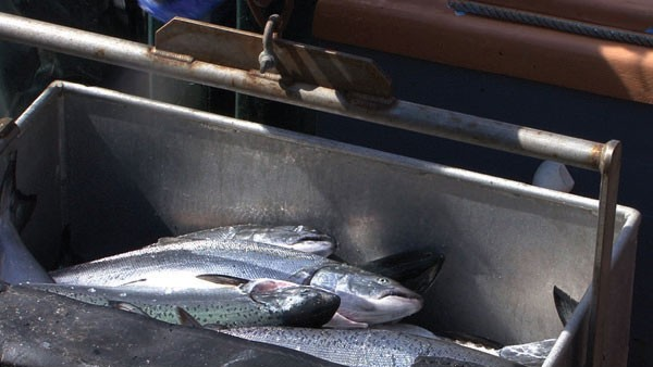 SPAWNED Gov. Brown's proposal to send more water to Southern California threatens the resurgent salmon population.