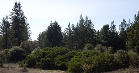 STATE OF THE INDUSTRY Redwood and manzanita at the fenced east end of the Artesa-Sonoma property in Annapolis. - FRIENDS OF THE GUALALA RIVER