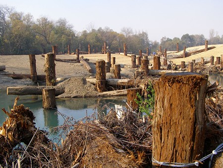 STUMP CLUMP Redwood logs purchased by the county from Ghilotti Construction now dot Dry Creek in Healdsburg. - JAMES KNIGHT