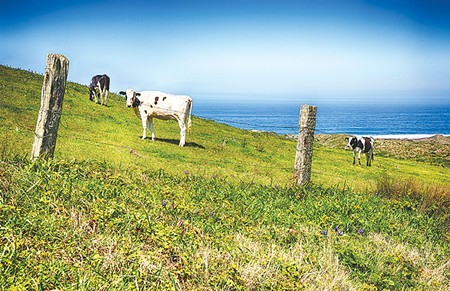 MOO WITH A VIEW  The Drakes Bay oyster battle is over, but a confrontation over cattle is heating up at Point Reyes National Seashore.