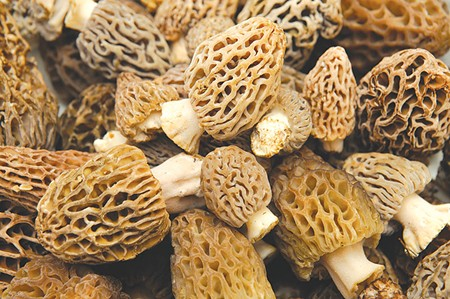 BURNT OFFERINGS  Morel mushrooms thrive often thrive on land burned by forest fire.