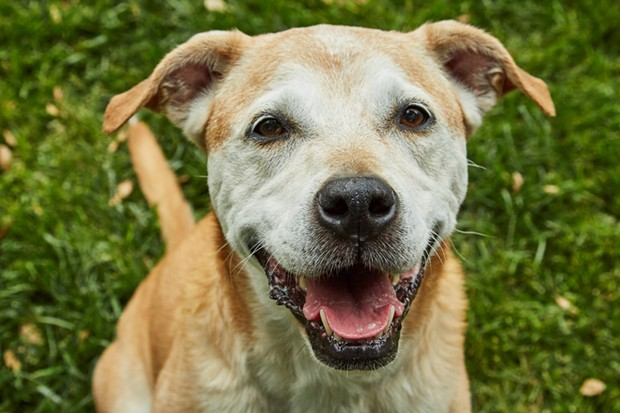 Bailey is all smiles after spending time at Lily's Legacy Senior Dog Sanctuary in Petaluma. - PHOTO COURTESY LILY'S LEGACY