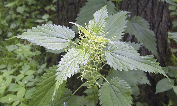 SWEET REVENGE  Stinging nettles love to slap your bare legs with their hairlike barbs as you go hiking by. You can retaliate by eating them.