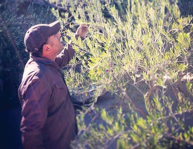 OLIVE ME Although handpicking is laborious, Jamie Anzalone prefers this method of climbing a ladder to fill his buckets. - PHOTO CREDIT: KELLY FLEMING