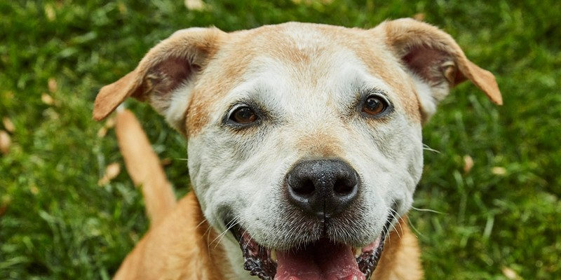 Bailey is all smiles after spending time at Lily's Legacy Senior Dog Sanctuary in Petaluma.