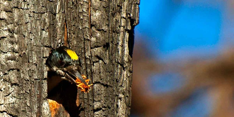 FOR THE BIRDS Black-backed woodpeckers are much more common in recently burned forests and rarer in unburned forests.