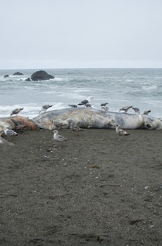 MOBY SICK This gray whale on Portuguese Beach was one of a dozen carcasses to wash up on North Bay beaches recently.