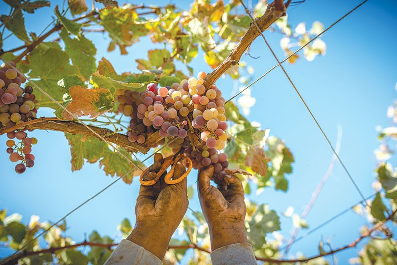 GRAPES IN NAPA?  Crazy I know, but this time it's a film about Peru and its famed Pisco sour cocktail.