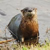 River Otters on the Rise