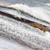 Saving Salmon