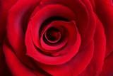 53e5a46b_rose.jpg