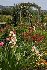 239bb4f2_garden_irises_among_the_roses_400x600_sharpenedmk_img_0210-fj.jpg