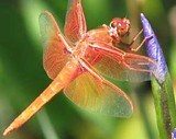 daf1cece_flamedragonfly_smaller.jpg