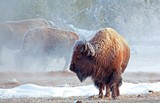 582de069_buffalo_sunrise_i_yellowstone_np_low_res.jpg