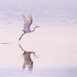 d78aeed5_egret-in-flight-8738_marlenesmith_square.jpg