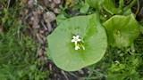 48b8e9a0_miner_s_lettuce.jpg