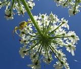 1d6b19d6_crab_spider_on_cow_parsnip_2011-04-09.jpg