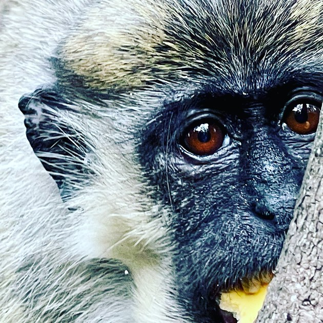 The Dania Beach monkeys love to eat local fruits, vegetables, and apparently, garden plants. - PHOTO COURTESY OF MISSY WILLIAMS