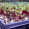 Examining the 'to' in farm-to-fork via the microgreen
