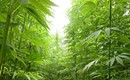 Hemp Fest aimed to re-establish farming of the illegal plant