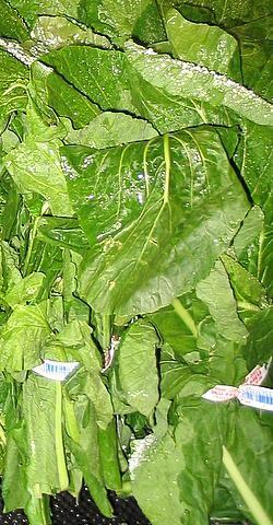 Turnip_Greens-1.jpg