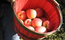 North Carolina apple days are upon us already