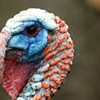 Is your Thanksgiving turkey on drugs?