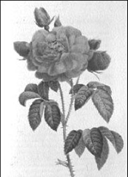 "ROSA GALLICA AURELIANESIS from ""Les Roses"" by - Pierre-Joseph Redoute"