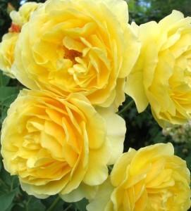 roses-graham-thomas